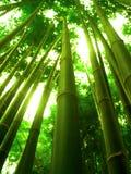 drzewo bambusowy Obrazy Stock