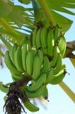 drzewo bananów zdjęcia royalty free