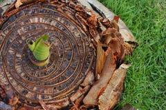 Drzewo banany Zdjęcia Royalty Free