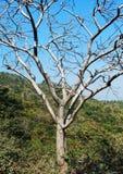 Drzewo bez liścia w lesie zdjęcie royalty free