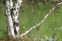 drzewo brzozy Obraz Royalty Free