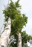 drzewo brzozy Obrazy Royalty Free