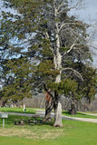 Drzewo cieni pyknicznego teren Zdjęcia Stock