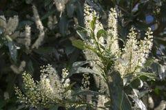 Drzewo czereśniowy bobek w kwiacie, kwiatach i liściach, fotografia royalty free