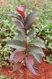 Drzewo Czerwona Guava owoc. obraz royalty free
