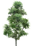 Drzewo, dąb, rośliny, natura, zieleń, lato, obfitolistny, greenery Obraz Stock