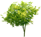 Drzewo, dąb, rośliny, natura, zieleń, lato, obfitolistny, greenery Obrazy Stock