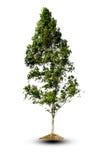 Drzewo dalej odizolowywa tło Zdjęcie Royalty Free