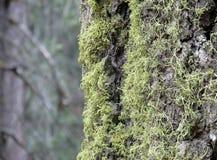 drzewo domu będzie pachniało mchem Zdjęcia Stock