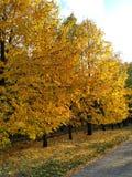 Drzewo, drzewa, jesień, kolor żółty opuszcza, kolorów żółtych liście, asfalt, liście na trawie Zdjęcie Royalty Free