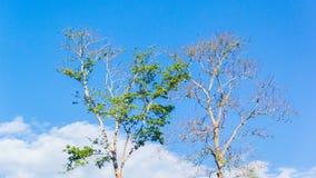 Drzewo Dwa Obraz Royalty Free
