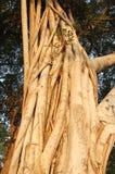 drzewo figowe Obraz Stock
