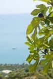 drzewo figowe Fotografia Stock