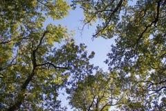 Drzewo górne gałąź Światło słoneczne Przez Zielonej Drzewnej korony - Niskiego kąta widok Zdjęcie Stock