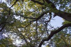 Drzewo górne gałąź Światło słoneczne Przez Zielonej Drzewnej korony - Niskiego kąta widok Obrazy Stock