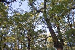 Drzewo górne gałąź Światło słoneczne Przez Zielonej Drzewnej korony - Niskiego kąta widok Zdjęcia Royalty Free