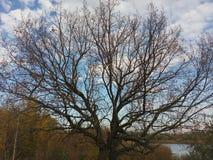 Drzewo, gałąź, suche, jesień, niebo, błękit, drzewa, las, tło, sylwetka, gałąź, natura, sezon, krajobraz, drewno, biel, mapa obrazy royalty free