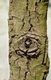 Drzewo gnarl spojrzenie jak oko piłka w ogródzie Fotografia Royalty Free