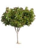 drzewo gumowe Obraz Royalty Free