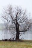 Drzewo i mgła jeziorem fotografia stock