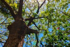 Drzewo i niebieskie niebo Zdjęcia Royalty Free