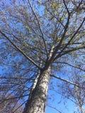 Drzewo i niebieskie niebo up patrzejemy strzał Obrazy Royalty Free