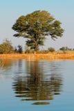 Drzewo i odbicie Fotografia Stock