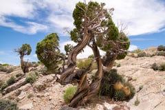drzewo jałowcowy jak działa pokręcony Obrazy Royalty Free