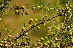 drzewo jabłczany piękny ilustracyjny wektor Zdjęcia Stock