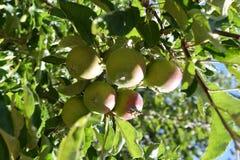 drzewo jabłczany piękny ilustracyjny wektor Obraz Stock