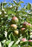 drzewo jabłczany piękny ilustracyjny wektor Obrazy Stock