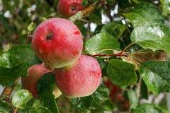 drzewo jabłczany piękny ilustracyjny wektor zdjęcie stock