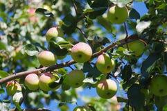 drzewo jabłczany piękny ilustracyjny wektor Zdjęcia Royalty Free