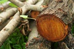 Drzewo jest rżniętym puszkiem w parku fotografia stock