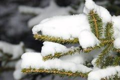 drzewo jodła śnieg Zdjęcia Royalty Free