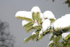 drzewo jodła śnieg Obraz Stock