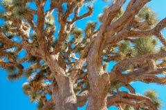 Drzewo, Joshua drzewa park narodowy, usa Zdjęcie Royalty Free