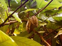 drzewo kakaowy Fotografia Stock