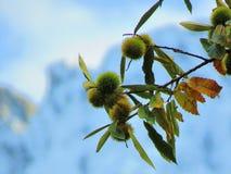Drzewo kasztany obrazy stock