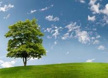drzewo klonowy Fotografia Royalty Free