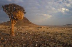 drzewo kołczanu fotografia royalty free