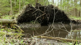 Drzewo korzeń w lasowym Gładzi suwaka strzał i zwalnia Czysty i jaskrawy dzień zbiory wideo