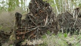 Drzewo korzeń w lasowym Gładzi suwaka strzał i zwalnia Czysty i jaskrawy dzień zdjęcie wideo