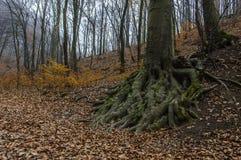 Drzewo korzenie Obrazy Royalty Free
