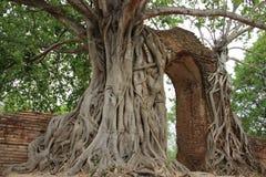 Drzewo korzenie I Drzewna barkentyna Z cegieł ścianami obrazy royalty free