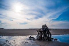 Drzewo korzenie na plaży Bele rzucać na ląd Wykorzeniający drzewo na seashore po gwałtownej burzy Drzewo korzenie na plaży po pow Obrazy Royalty Free