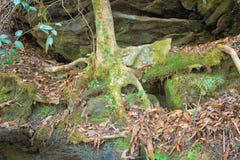 Drzewo korzenie przylega skały Obraz Royalty Free