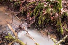 Drzewo korzenie w strumieniu woda obrazy stock