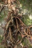 Drzewo korzenie wiążący up Zdjęcia Royalty Free