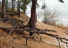 Drzewo korzenie wzdłuż piaskowatej linii brzegowej Lithuania Obrazy Stock